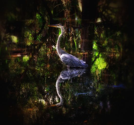 In a flooded state park, a capture of a Blue Heron frozen in time... For the moment Water Reflections Birds EyeEm Nature Lover Nature