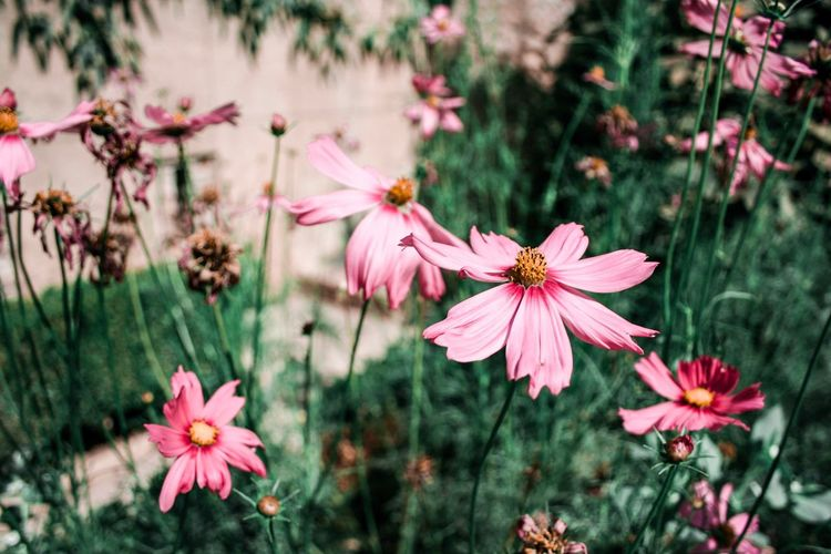 Pink flowers Plant Flower Flowering Plant Pink Color Beauty In Nature Growth EyeEmNewHere Petal Fragility Focus On Foreground No People Close-up Freshness Nature