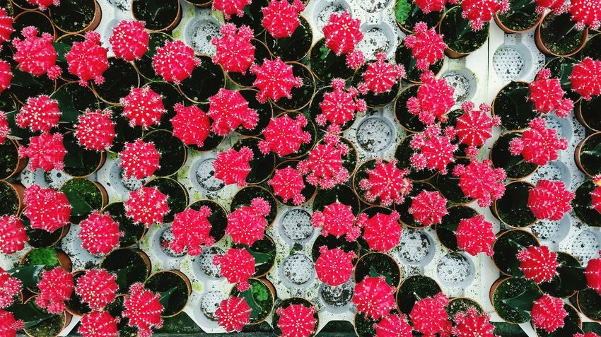 Photographic Memory Cactus Pink Green White Plants Flowers Tumblr