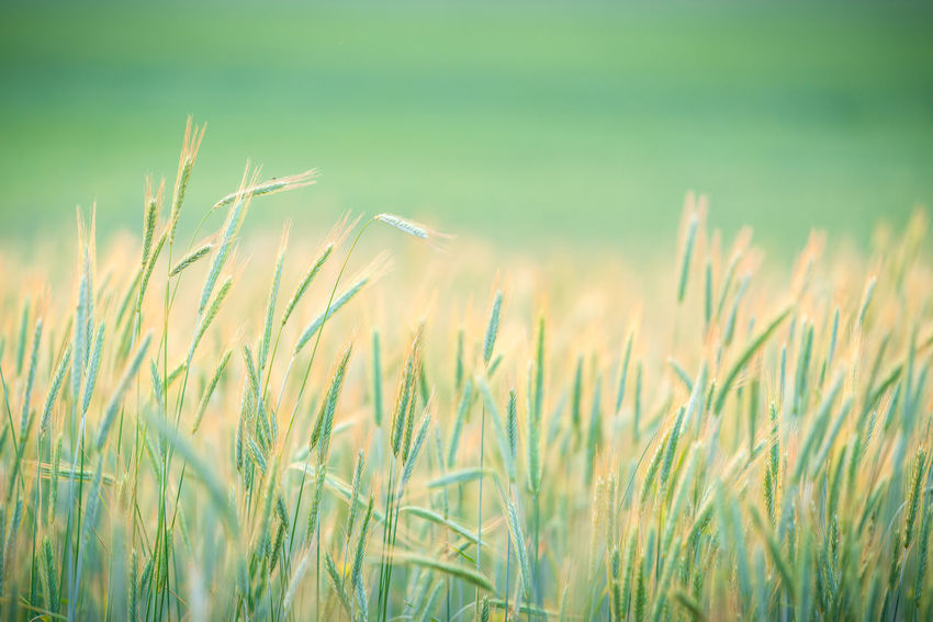 wheat Agriculture Beauty In Nature Close-up Crop  Day Farm Field Green Color Growth Land Landscape Nature No People Outdoors Plant Rural Scene Selective Focus Tranquility