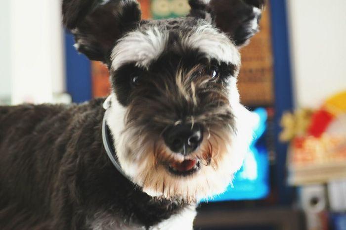 I know that i am cute .. Cute My Dog Baxter Miniature Schnauzer Love ♥ Taking Photos