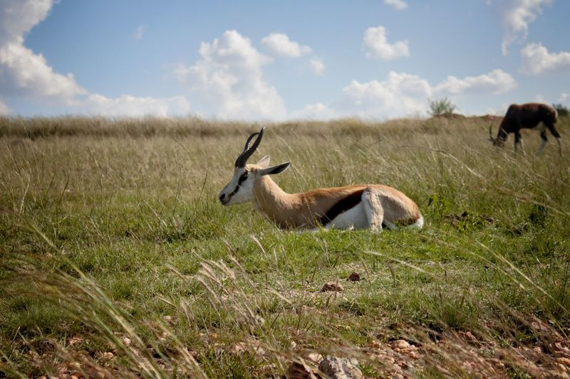 Springbok on grassy field against sky