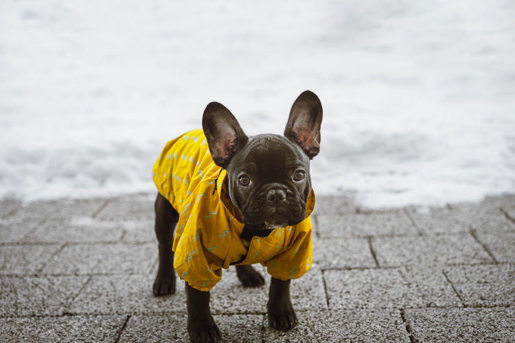 Pet Pet Portrait Winter Snow Yellow Frenchie Frenchbulldog Pets Portrait Dog Looking At Camera Pet Clothing Cute Bulldog French Bulldog Pet Equipment Puppy Purebred Dog Snow Covered
