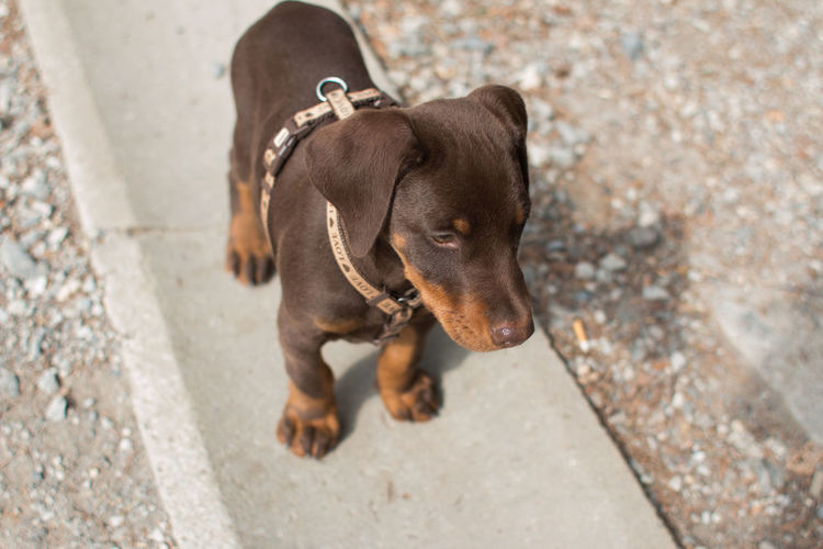 Animal Themes Brown Doberma Brown Dog Cute Cute Puppy Day Doberman Puppy Dog Domestic Animals High Angle View Mammal No People One Animal Outdoors Pets Puppy Red Doberman Small Doberma