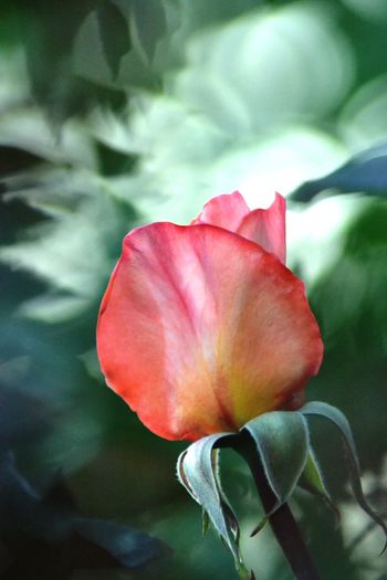 Rosebud Bokeh Flower Head Green Color Close-up Outdoors Nature Petal Blooming Green Place Of Heart Rosé Beauty In Nature Flowering Plant