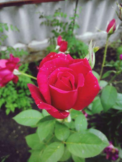 роза роса капельки красиво