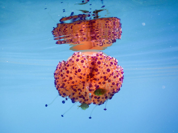 Close-up of jellyfish swimming in sea