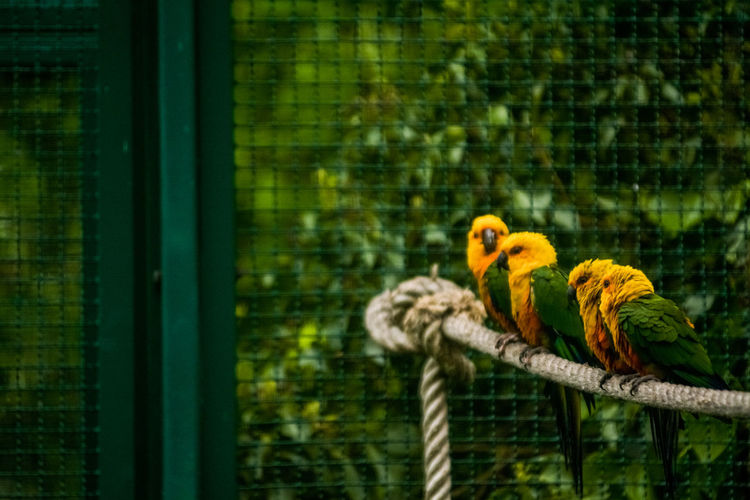 Animal Bird Animal Themes Vertebrate Parrot Group Of Animals Animal Wildlife Animals In Captivity Cage Yellow No People Focus On Foreground Animals In The Wild Perching Day Nature Outdoors Two Animals Parakeet Green Color Animal Family