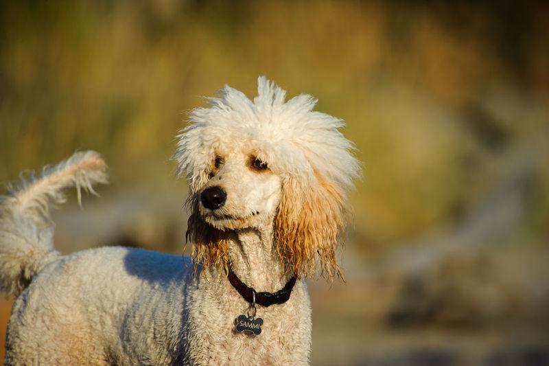 Standard poodle looking away