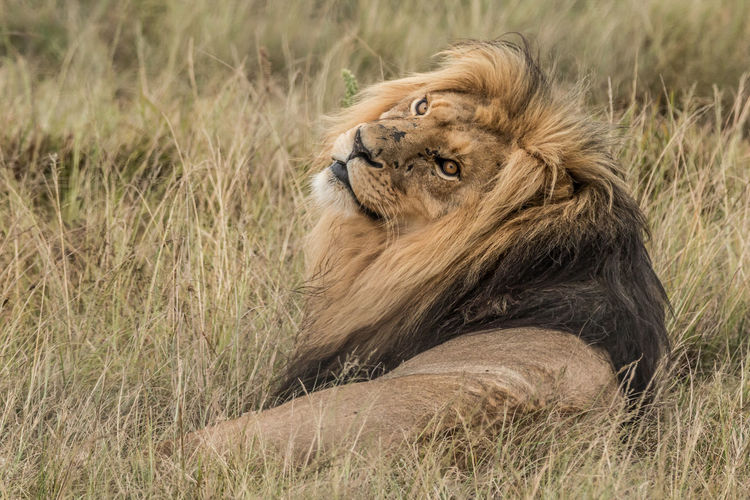 Lion Lion - Male Cat Big Cat Feline Animal Animal Themes Animal Wildlife Lion - Feline Animals In The Wild One Animal Male Animal Grass No People Animal Head  Mammal Plant Nature Land Relaxation Day Field