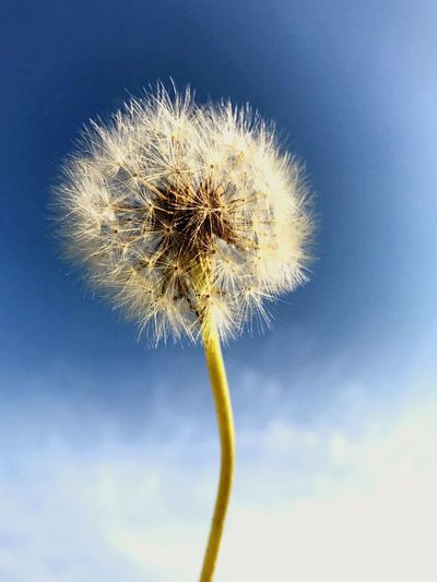 Flower Fragility Sky Dandelion Blue Low Angle View Nature Day Close-up Motion Uncultivated Outdoors No People Clear Sky Plant Beauty In Nature Growth Freshness Flower Head