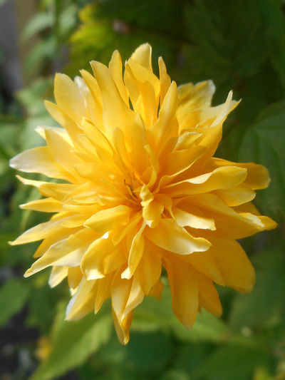 Blooming Close-up Day Flower Flower Head Fragility Freshness Growth In Bloom Japanese Kerria Outdoors Plant Softness Yellow