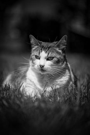 Black and white image of a tabby cat in the grass Animal Animal Body Part Animal Eye Animal Head  Animal Themes Black And White Cat Close-up Day Domestic Domestic Animals Domestic Cat Feline Looking Mammal No People One Animal Pets Portrait Relaxation Selective Focus Tabby Tabby Cat Vertebrate Whisker