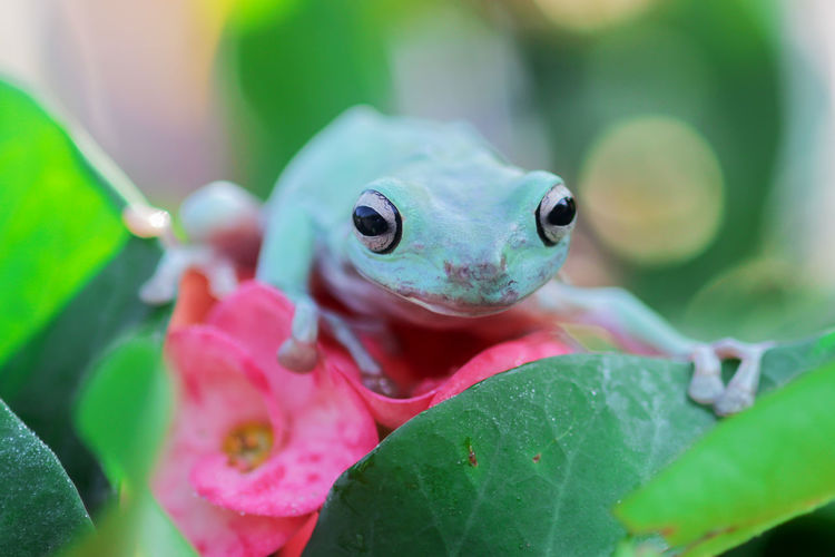 Tree frogs, dumpy on tree branches in the morning
