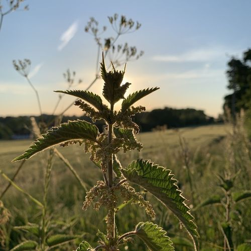 Close-up of plant growing on field against sky