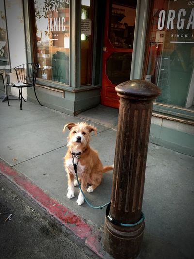 Saw this adorable dog waiting for his owner in front of a cafe Dog Pets Obedient Lucy Cafe Coffeeshop