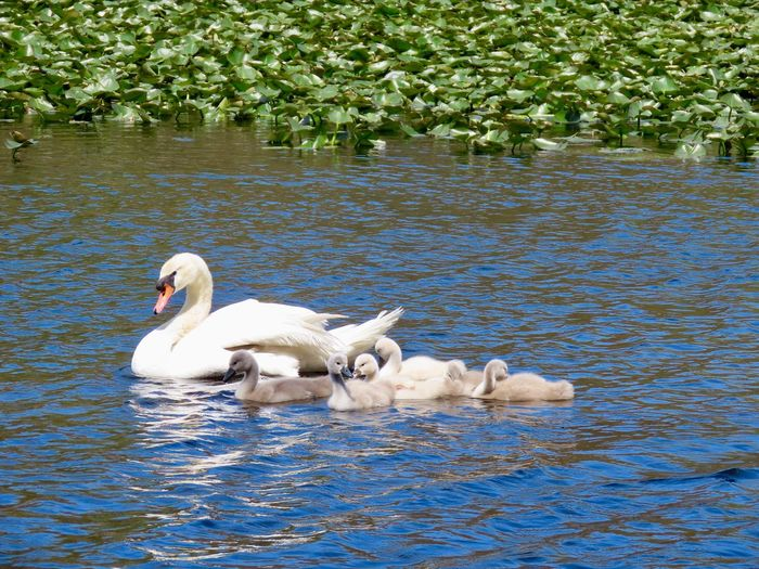 Mute swan female with cygnets out for a swim Birds of EyeEm water ripples lily pads beauty in nature outdoors Animal Themes Water Bird White Color No People