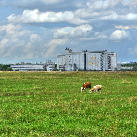Коровы жуют траву на фоне завода