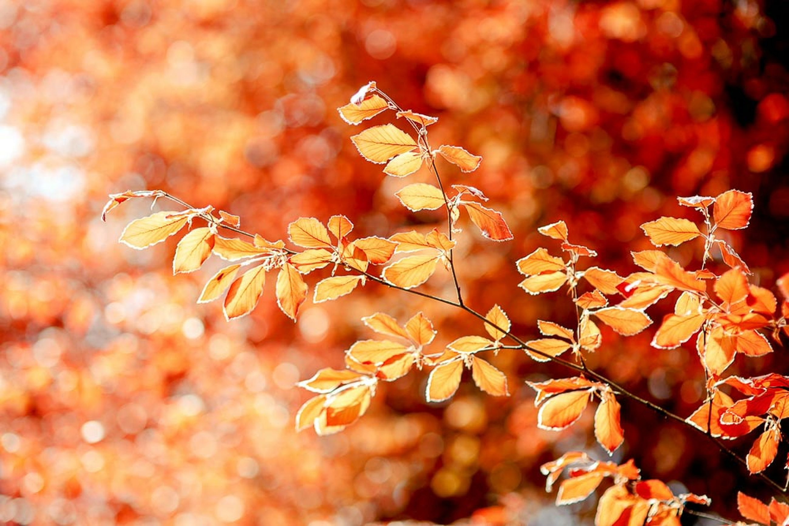 autumn, change, leaf, dry, focus on foreground, close-up, season, orange color, selective focus, nature, leaves, twig, growth, branch, red, plant, outdoors, brown, day, maple leaf