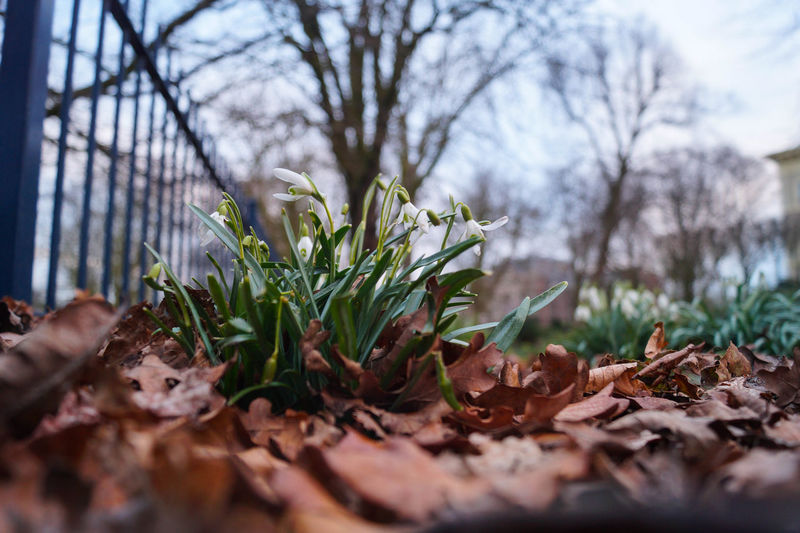 Low angle view of snowdrops growing in park
