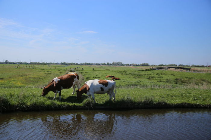 Cows Dutch Landscape Cow Cows Grazing Naturephotography Nature Photography Meadow Animal Photography Cows Holland