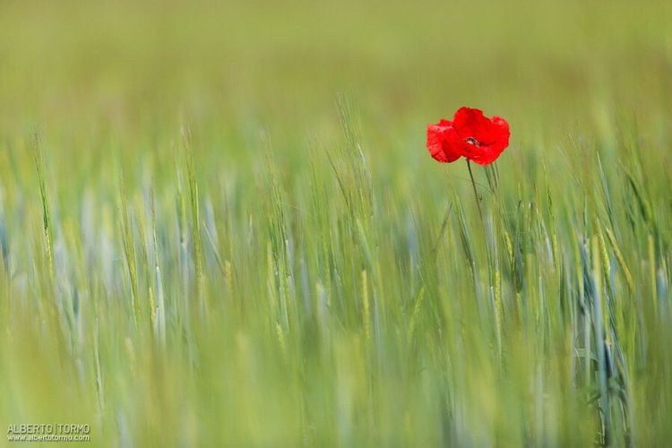 Red Nature Field Flower Growth Grass Plant Beauty In Nature Poppy No People Day Outdoors Green Color Fragility Cereal Plant Close-up Wheat Rural Scene Freshness Flower Head EyeEmNewHere Albertotormo Fontanars Dels Alforins Ontinyent