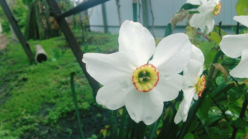 цветок  белый забор трава сад Природа дом роза лесница
