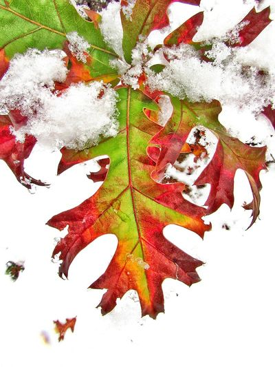 """the leaves covered in snow wanted to know """"where did summer go' Leaves Snow Snow Covered Leaves Colorful Leaves Fall Colors Autumn Leaves Autumn Colors Winter Weather Beauty In Nature Cold Weather Ice Leaves Covered In Snow Beautiful Leaves Abstract Backgrounds Paper Full Frame No People Painted Image Day Nature Close-up Outdoors"""
