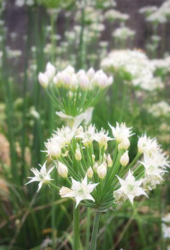 道端や庭先や、畑の脇に咲く、可愛い星たち☆かわいい〜っ!(≧▽≦)!と近づくと…… Flower Nature Plant Growth Fragility Freshness Beauty In Nature Flower Head Close-up No People Blooming Day Outdoors Mypointmfveiw Stars ★実はニラ。だから臭う💦💦草花に混じって、こんなあちこちにニラは生えているって事に毎年驚くのです。