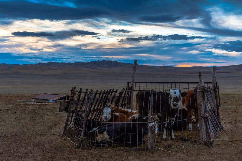 Cows amidst fence on field against cloudy sky