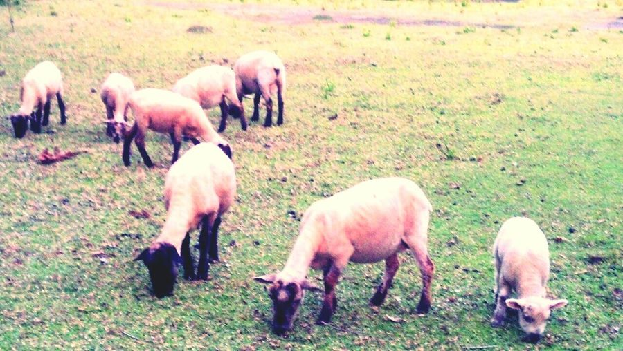 Horses grazing on field