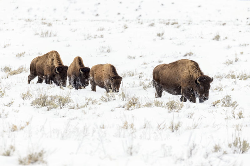 Buffalos on field during winter