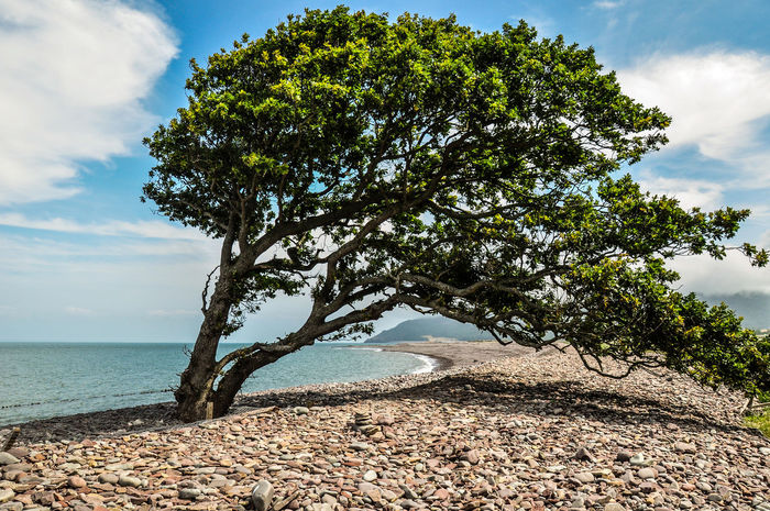 Pebble Beach Tree Beach Beauty In Nature Pebble Pebbles Pebbles On A Beach Scenics - Nature Sea Sky Tranquil Scene Tranquility Windswept Windswept Tree