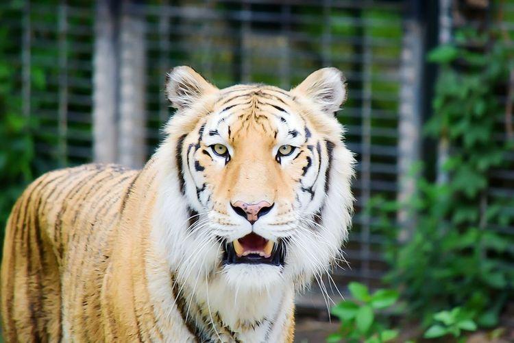 EyeEm Best Shots Animals Outdoors Tiger Big Cat Cat Lovers Cat Cat Eyes