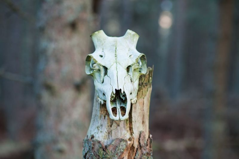 Animal Skull Animal Bone Outdoors Day Deer Highlands Scotland