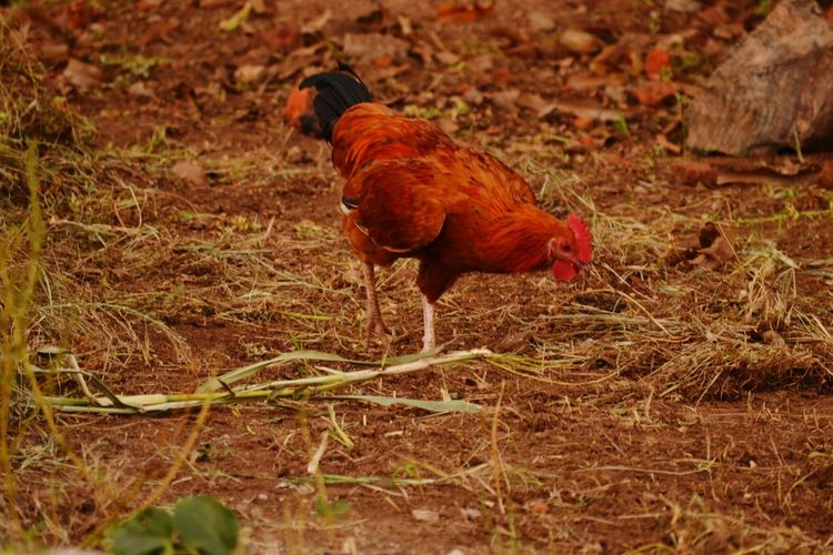 A Cockerel Foraging rooster Free Range Chicken Domestic Bird seen in Gulu, Uganda Nature No People