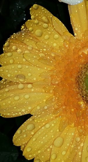 Close-up Drop Yellow No People Freshness Raindrops Raindrops On Flowers Macro Photography Macroflowerphotography Macroflower Macro_flower Macro Gerbera Daisy Gerbera EyeEm Flower Flowers Flower Head Flower Collection Flowerporn Blossoms  Eye Em Nature Lover Nature Photography Eye4photography  Awesome_shots Epic Shot Photography