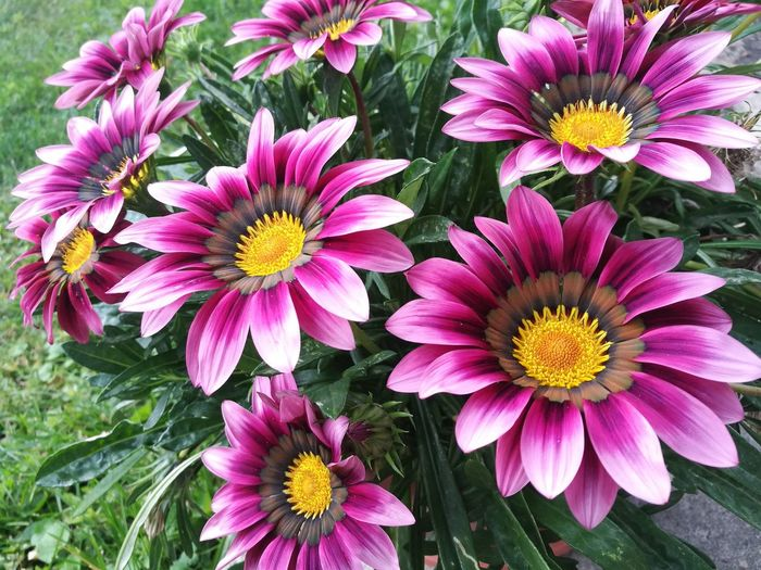 Our pink treasure-flower in blooming 🌼 Pink Pink Color Pink Flower Pink Flowers Pink Flower 🌸 Pink Blossoms 50 Shades Of Pink No People Bee Pub Pink And Green Flower Head Flower Petal Close-up Blooming Plant Gazania In Bloom Botany Plant Life