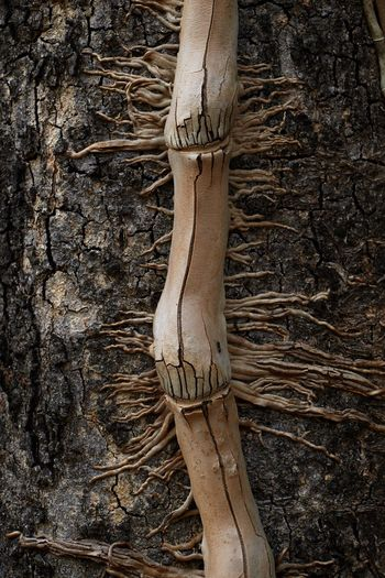 Tree Plant No People Wood - Material Nature Tree Trunk Trunk Root Day Growth Outdoors Textured  Brown Plant Part Decay Parasite Plant Vine Ivy