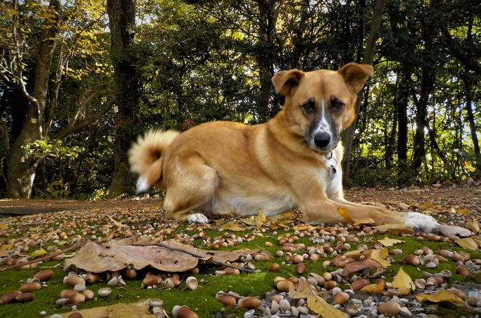 Beaufort with Acorns Acorns Animal Themes Autumn Day Dog Domestic Animals Handsome Dog Leaf Mammal Moss Moss Covered Mossy Nature No People One Animal Out In Nature Outdoors Pets Running Free Tree Sommergefühle EyeEm Selects Pet Portraits Be. Ready. Autumn Mood