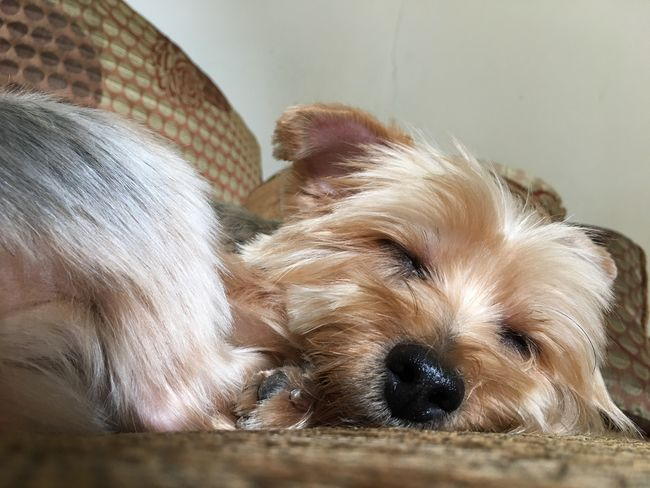 A cute little dog (yorkshire terrier) is enjoying her daily nap. Enjoyment Enjoy Relaxation Relax Sleeping Sleep Napping Nap Little Cute Animal Dog Pet Yorkshire Terrier
