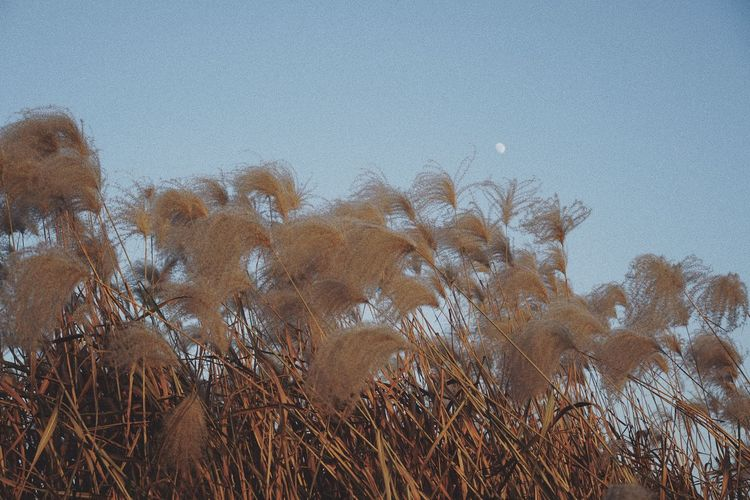Reed Moon Plant