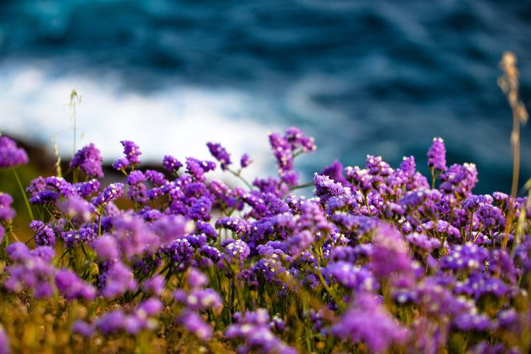 Flowers on a hill with the sea in the background. Flower Flowering Plant Purple Beauty In Nature Plant Freshness Growth Selective Focus Vulnerability  Fragility Close-up Nature Day Land No People Tranquility Outdoors Water Inflorescence Field Flower Head Softness