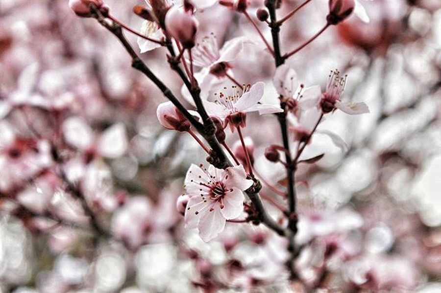 PNW Photography Igers_seattle Igers_seattle_tuesdaychallenge Pink Flower Flowers Floral Cherryblossom Blossom Bloom Tree Spring Springiscoming SignsOfSpring Upperleftusa Northwestisbest King5spring Framedbynature Petitteckelphoto