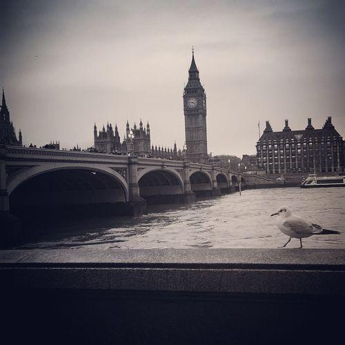 Blackandwhite Black & White Black Headed Gull Westminsterbridge Westminster River Thames Thames Bigben Elizabethtower Housesofparliament Eyeemphotography Eye4photography  IPhoneography