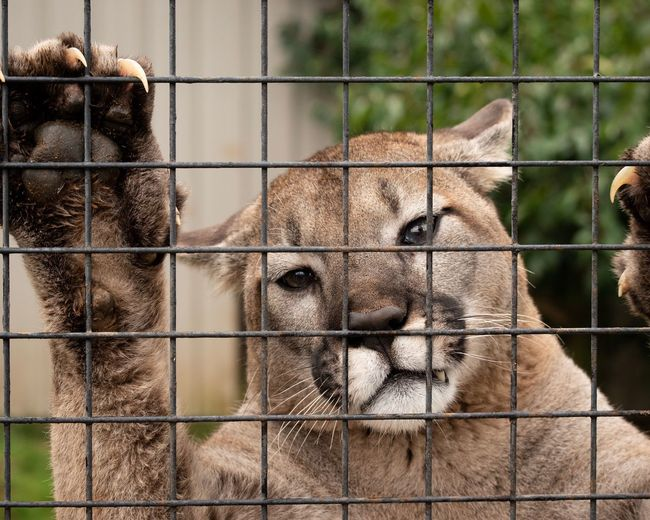 I look sad, but I'm not! Just waiting for my snack. Education Conservation Awareness Snack Time! Mountain Lion Cougar Mammal Animal Themes Animal Animals In Captivity One Animal Fence Vertebrate Chainlink Fence Close-up Metal Zoology Outdoors Animals In The Wild Barrier Boundary Animal Wildlife No People Zoo Cage Day