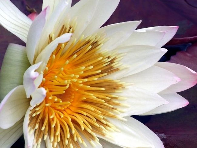 Close Up Nature Flowers Macro Photography Water Flowers Water Lily Water Lily, Flower White Flowers - White Water Lily