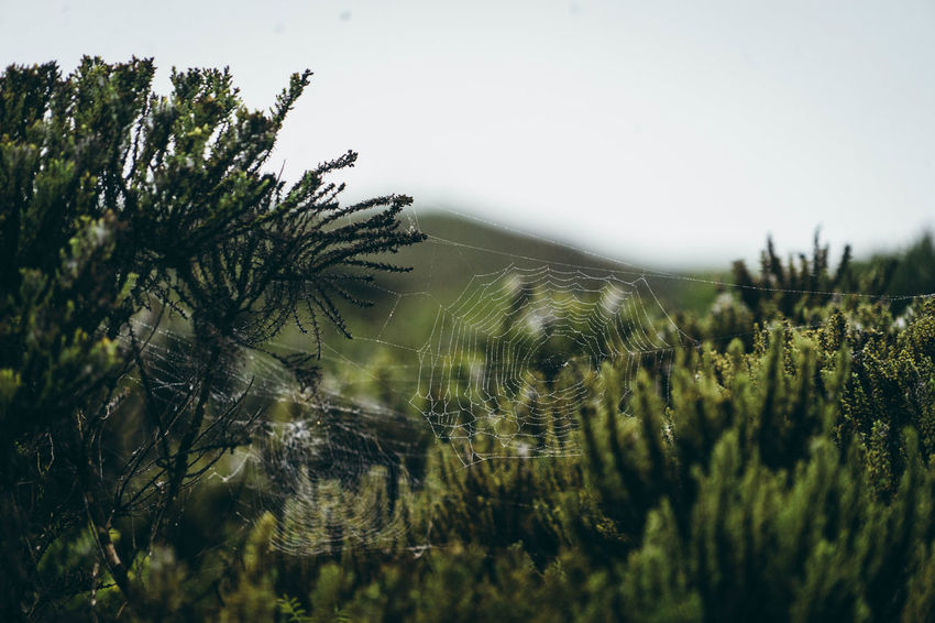 Beauty In Nature Branch Day Dew Focus On Foreground Fragility Green Green Color Growth Mountain Nature No People Non-urban Scene Outdoors Pine Tree Plant Scenics Spiderweb In Morning Dew Tranquil Scene Tranquility Tree