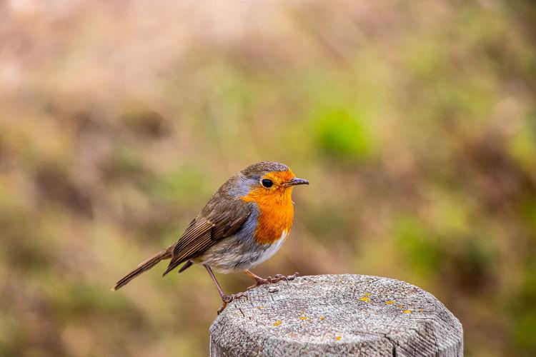Bird robin in the nature