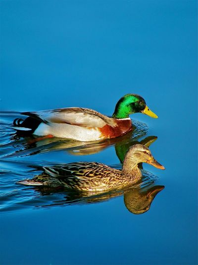 Duck, duck..... Ducks Pond Perfect Pair Best Friends Partners Friends Going For A Swim Animals Birds EyeEm Nature Lover
